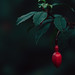Fuchsia Riccartonii ~ 286/365 2017