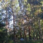 Eucalyptus dunnii windbreak