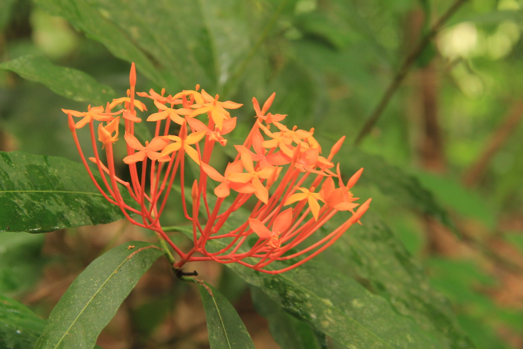 Jungle flowers, Khao Sok National Park