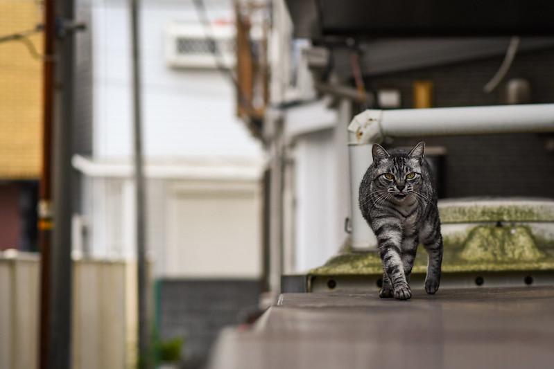歩いて向かってくるネコ