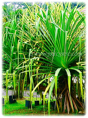 Gorgeous dark green and linear leaves of Pandanus tectorius (Tahitian Screwpine, Thatch/Textile Screwpine, Tourist Pineapple, Hala, Screw Pine, Mengkuang Laut/Duri in Malay), 1 Aug 2009
