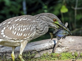 Juvenile Black-crowned Night Heron Feeding