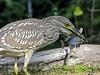 Juvenile Black-crowned Night Heron Feeding by RickKramer