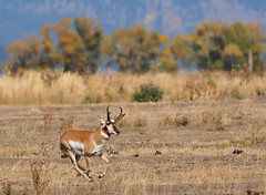 Much like this Pronghorn Buck I have been running around like crazy! - 0255b+
