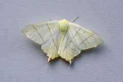 HolderSwallow-tailed Moth, St Bees, Cumbria, England