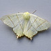 Swallow-tailed Moth, St Bees, Cumbria, England