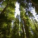 Redwoods in Repose
