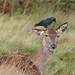 Daffy Deer