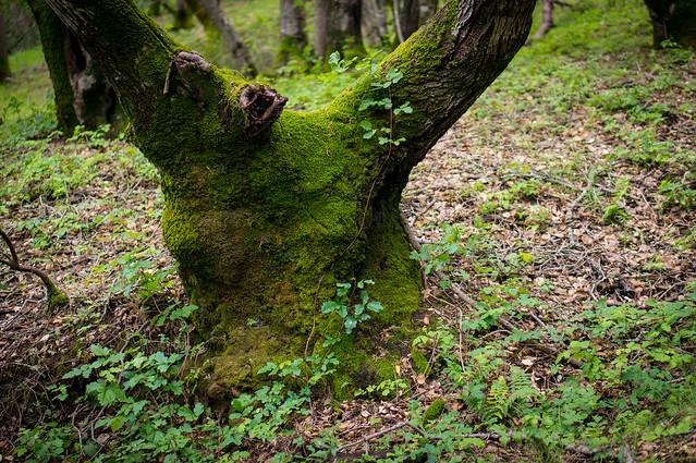 crooked stump