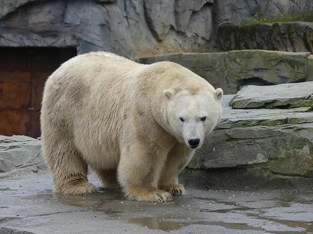 Eisbärin Milana, Zoo Hannover
