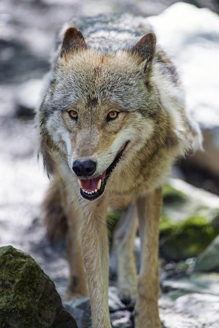 Happ walking wolf