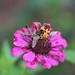 Purple Zinnia With Bee