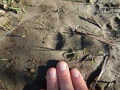 coyote track, Skagit River, Concrete, WA