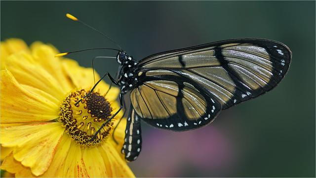 Giant Glasswing Butterfly (Methona confusa)