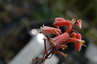 DSC_7032 Aloe cv. DZ  (Debra Zimmerman)