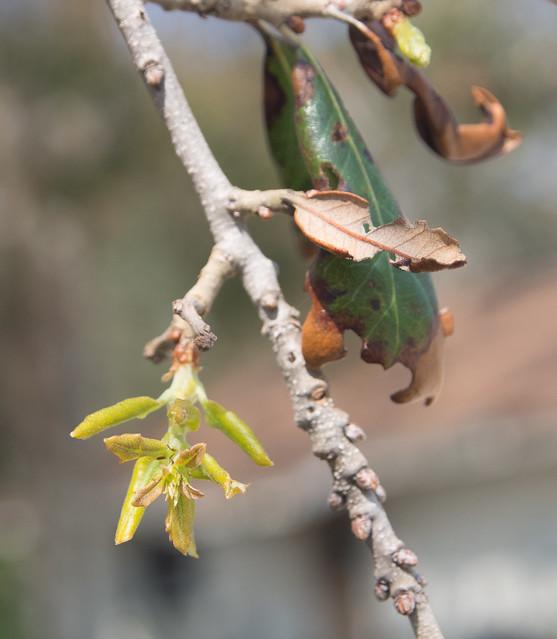 Oak bud opening, front yard