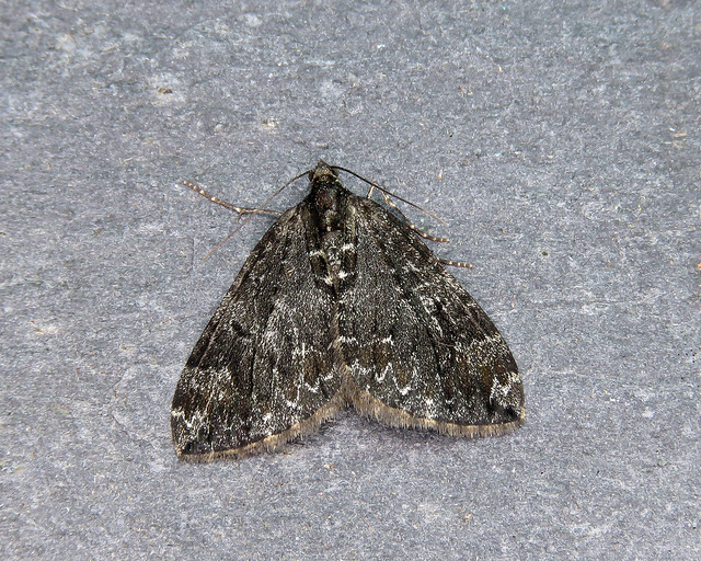 70.098 Dark Marbled Carpet - Dysstroma citrata