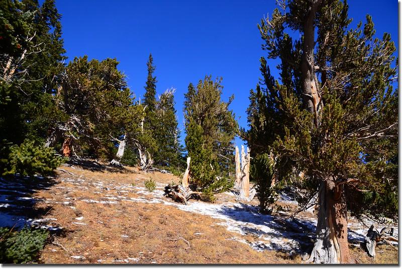Bristlecone pine (3)