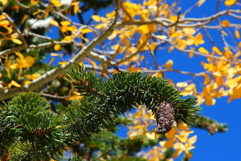 IMG_1337 Bristlecone Pine Pine and Quaking Aspen