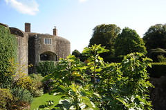 Fig tree at Walmer castle