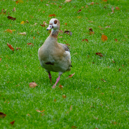 Goose stepping - Egyptian goose