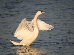 HolderSpot-lit Swan