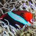 Tomato Anemonefish - Amphiprion frenatus