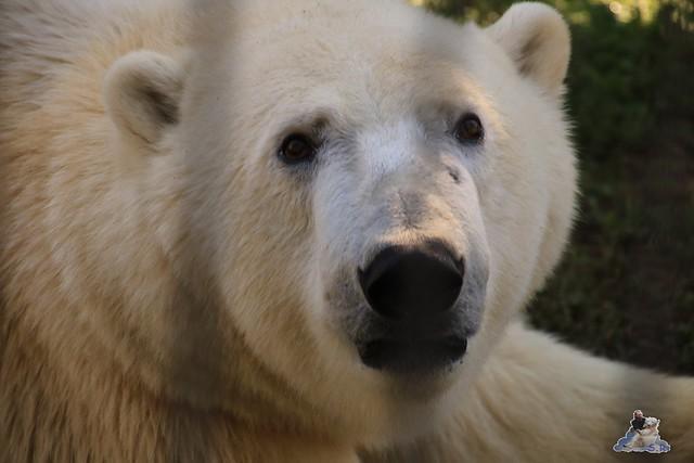 Eisbär Fiete im Sosto Zoo 01.10.2017 028