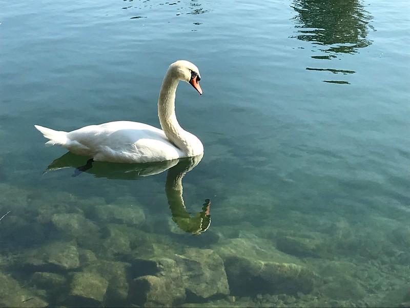 M - Swan