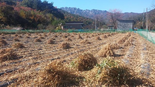 가을 | 콩밭