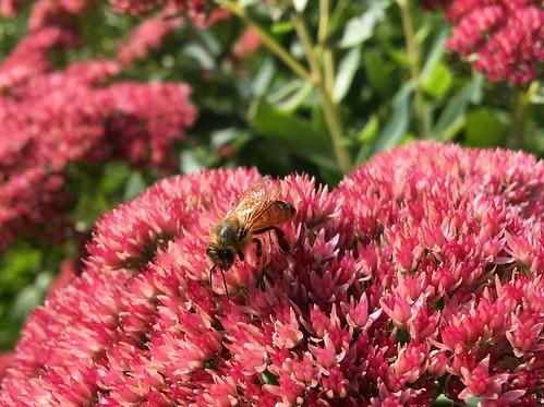 Bee on Autumn Joy sedum