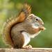 Red squirrel by ML Rasmussen