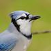 Blue Jay Drinking-40597.jpg
