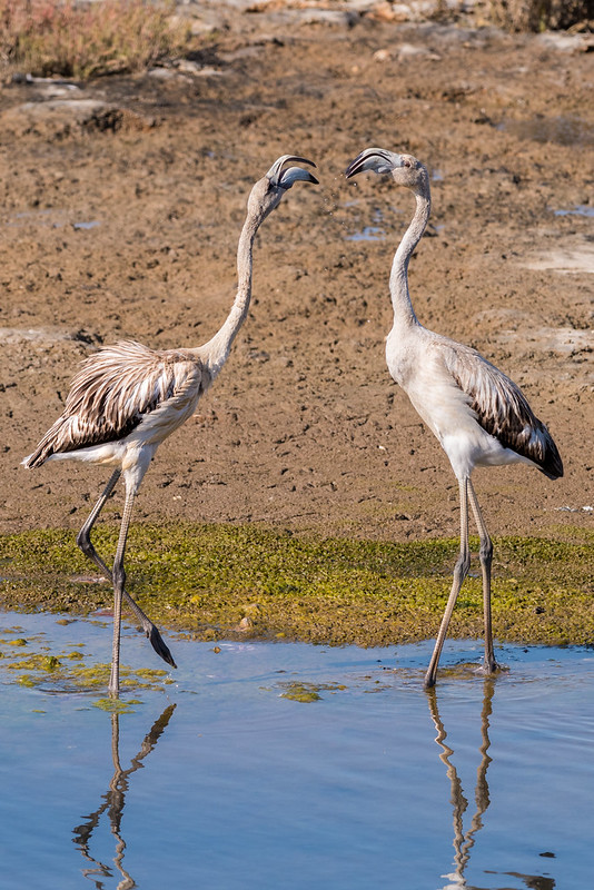 (Young) Greater Flamingos Squabbling - Phoenicopterus roseus