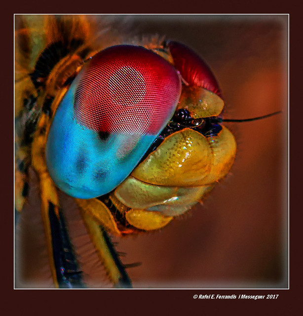 Ulls de parotet 55 (Sympetrum fonscolombii) Dragonfly's eyes (Sueca, Valencia, Spain)