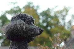 Pensive poodle