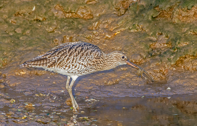 JWL1505  Curlew..