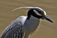 San Antonio - Yellow-Crowned Night-Heron
