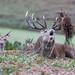 Red Deer Stag 14 Pt Cervus elaphus 057-1
