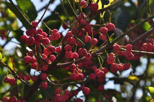 10_3참빗살나무열매
