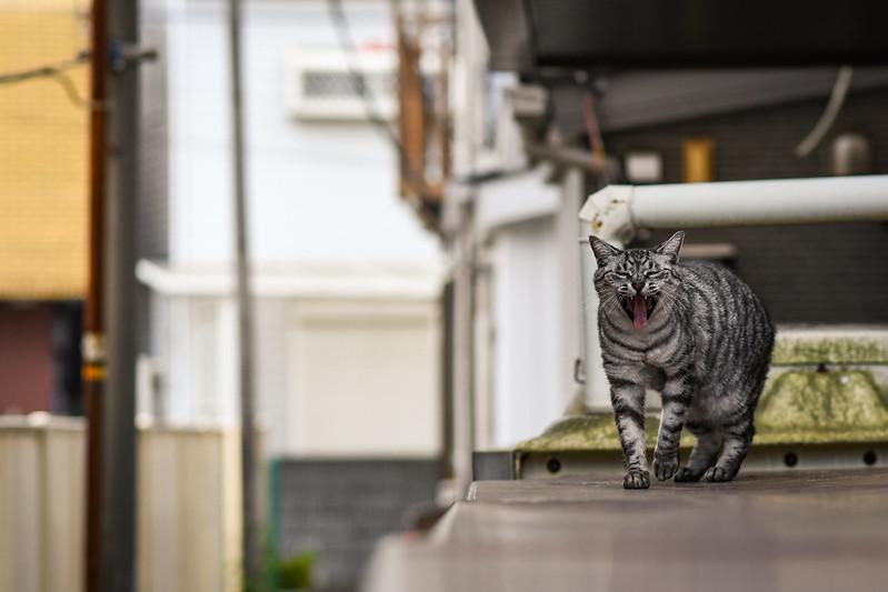 あくびをしながら歩いて向かってくるネコ