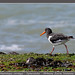 Oystercatcher by Jan H. Boer, Nature photographer