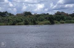 Hippo herd on Zambian side of Zambesi. 1994