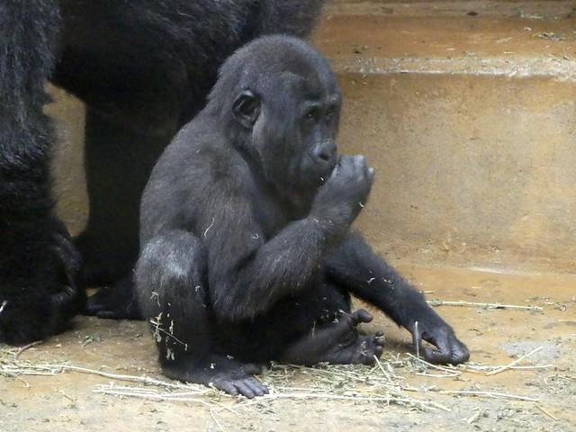 Gorilla Anandi, Zoo Hannover