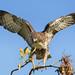 Balancing Red-tailed Hawk