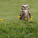 Scarp the Burrowing Owl