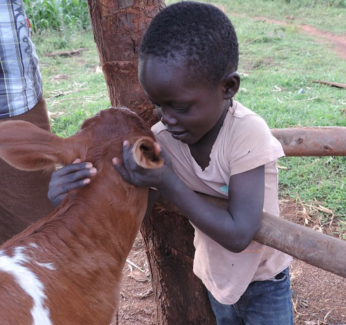 Selvin Odhiambo's son Hilary has made the calf his friend because he is excited to learn how to milk the gold that will change his future