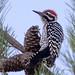 Ladder back woodpecker by E>mar