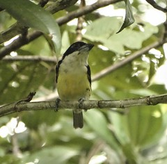 Five-colored Barbet (Capito quinticolor)