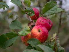 Apples from Shropshire - ready to be picked for cider